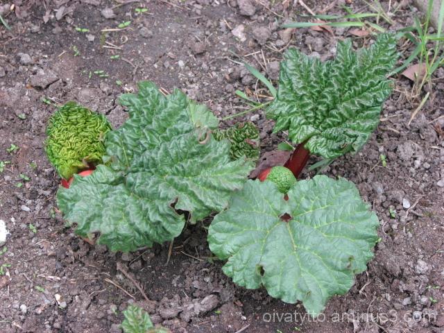 Rhubarb is already growing!