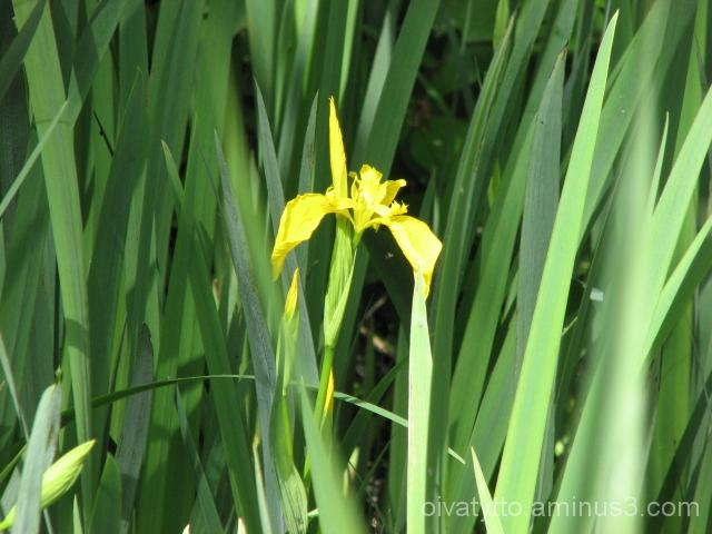 Iris pseudacorus/Kurjenmiekka
