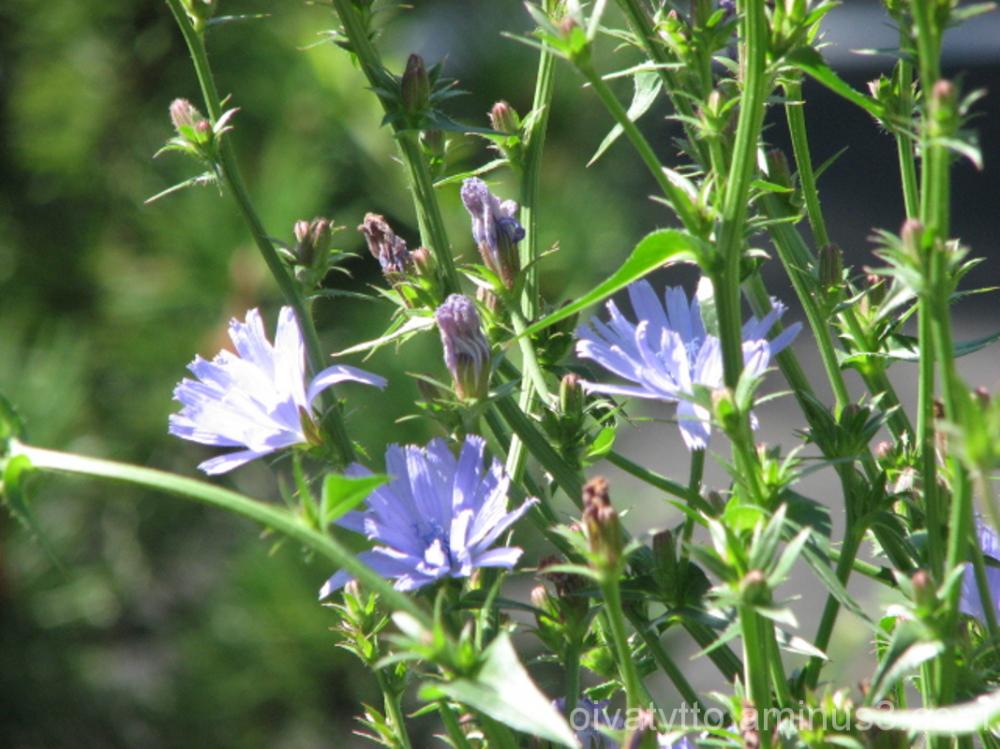 Sikuri/Chicory