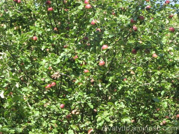 Apple Harvest!