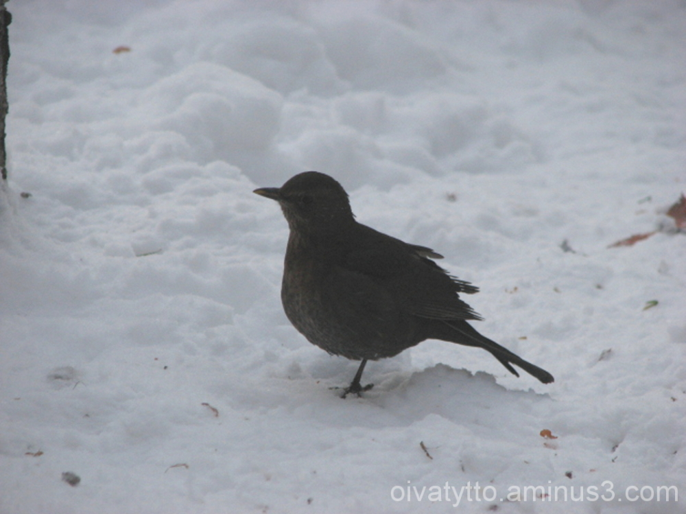 Small one-legged blackbird!