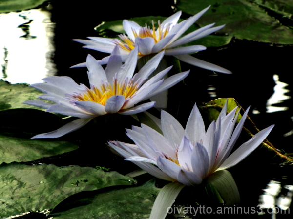 Giant water lily flower