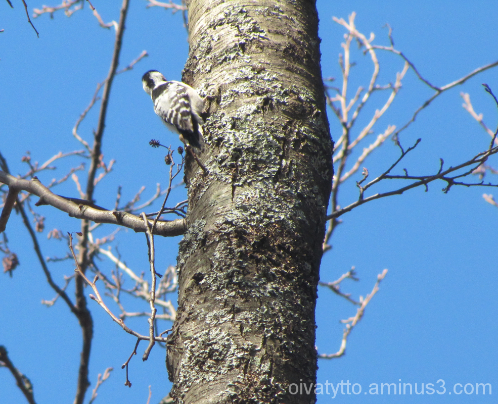 Lesser Spotted Woodpecker!