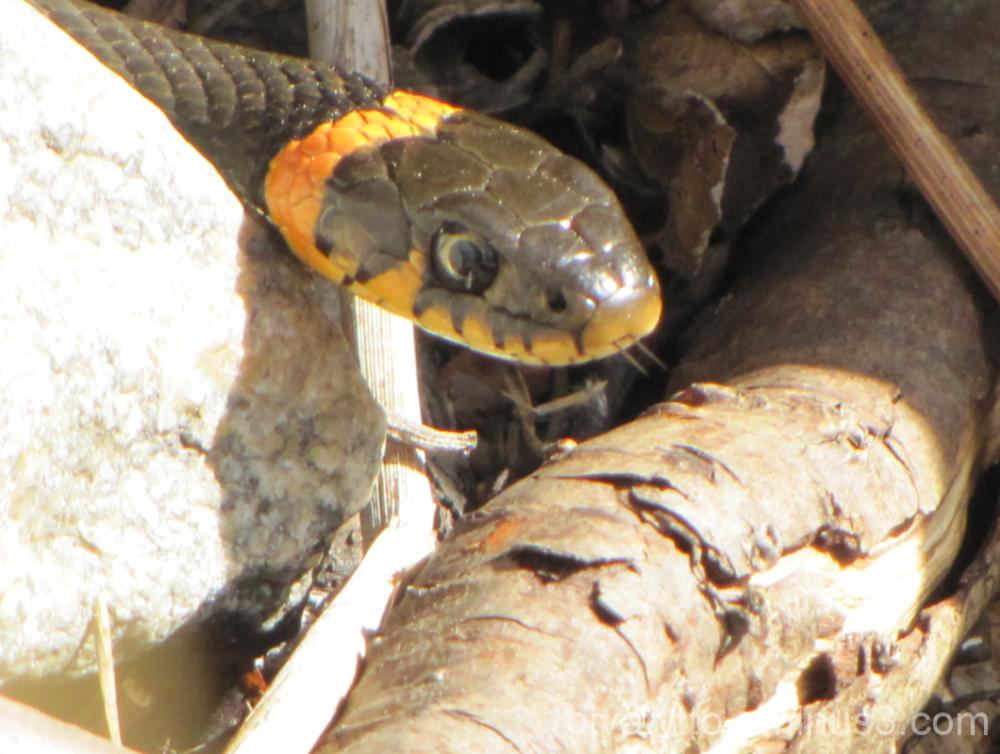 Grass Snake!