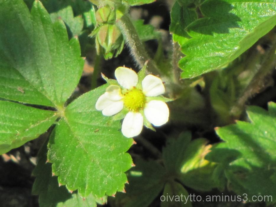 Wild Strawberry!