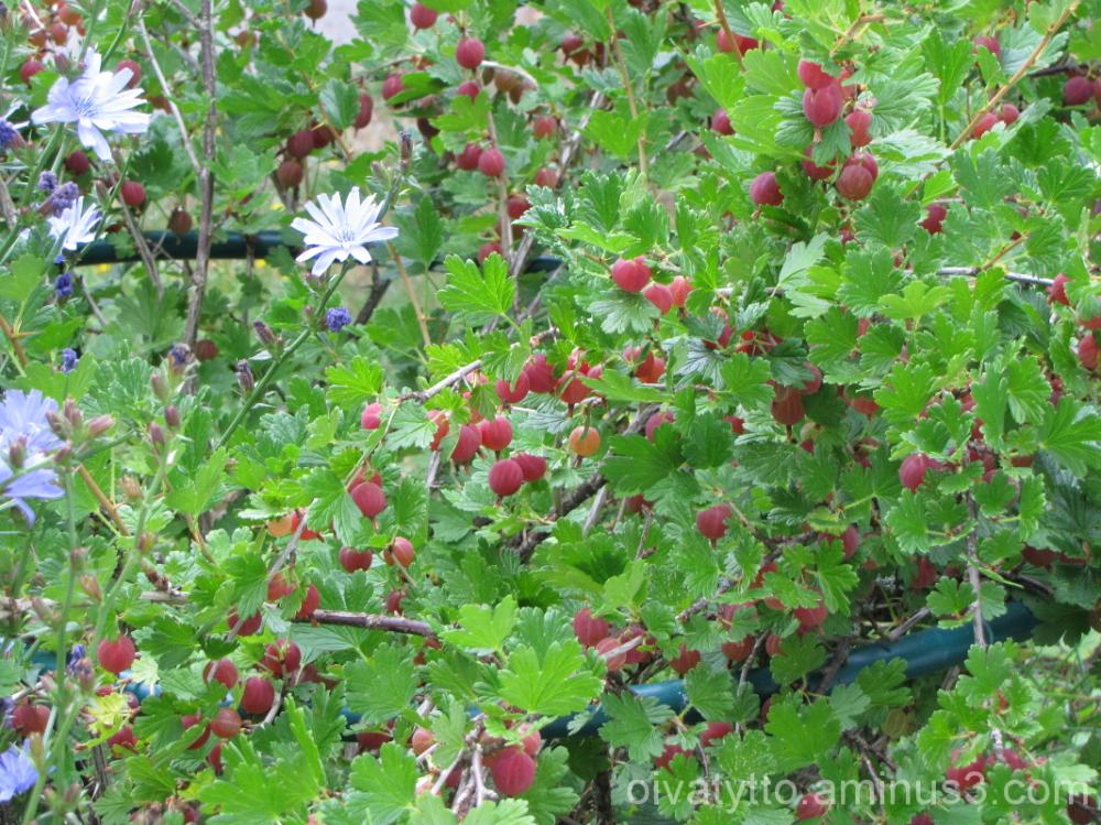 Gooseberries!