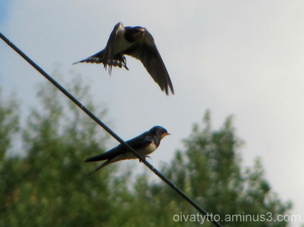 Of swallows!