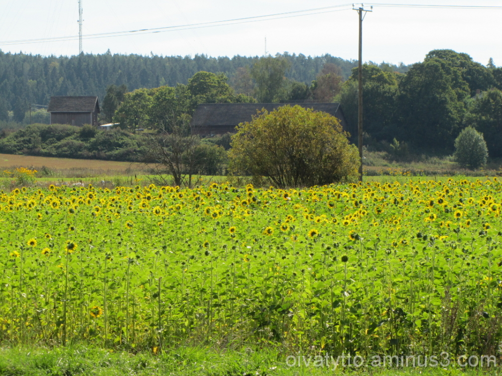 Field filled with Sunflowers!