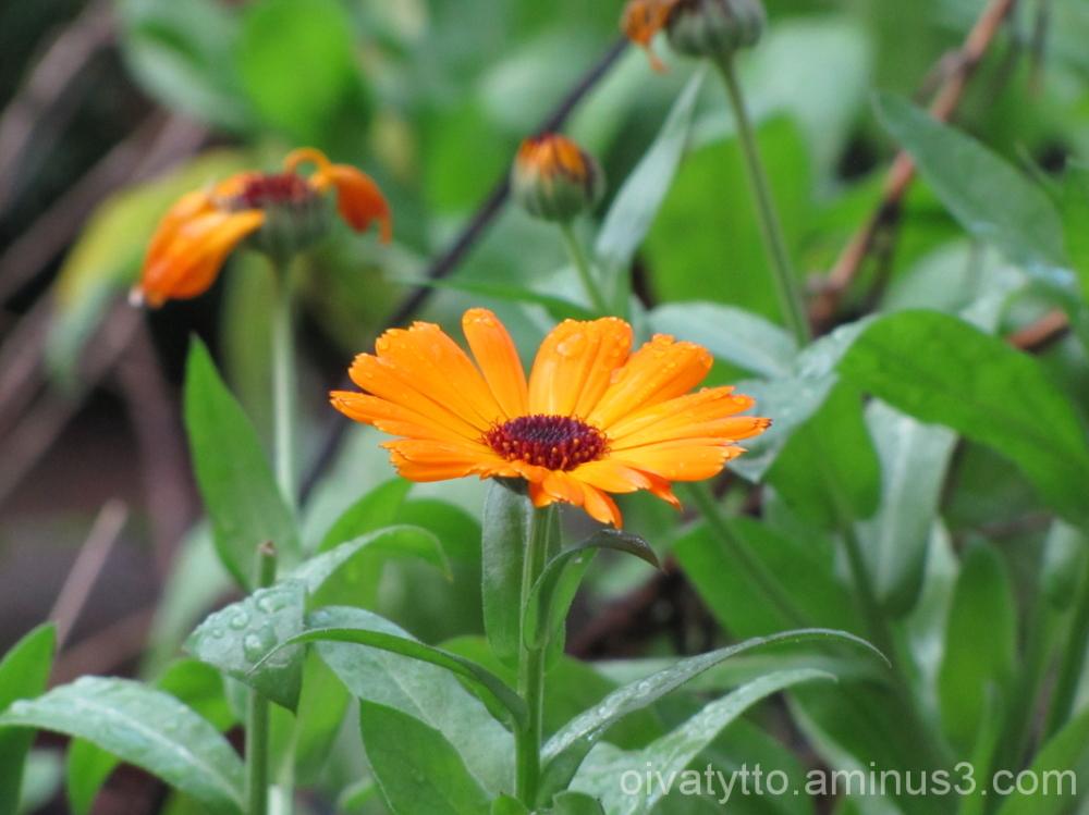 Marigold !