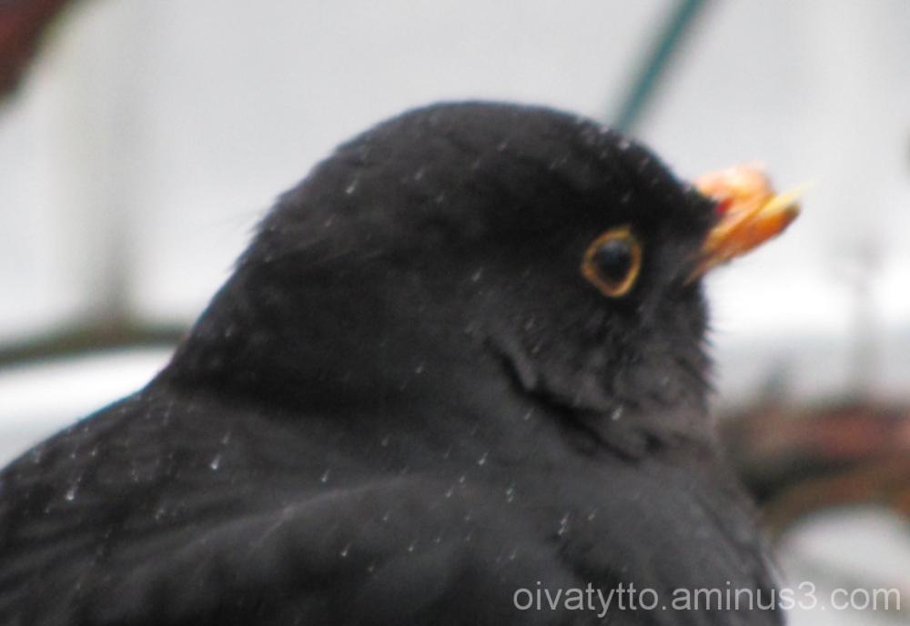 Blackbird!