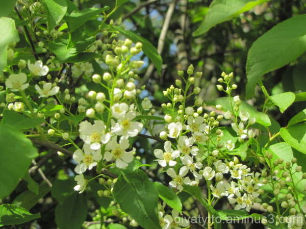 The bird cherry flowers!