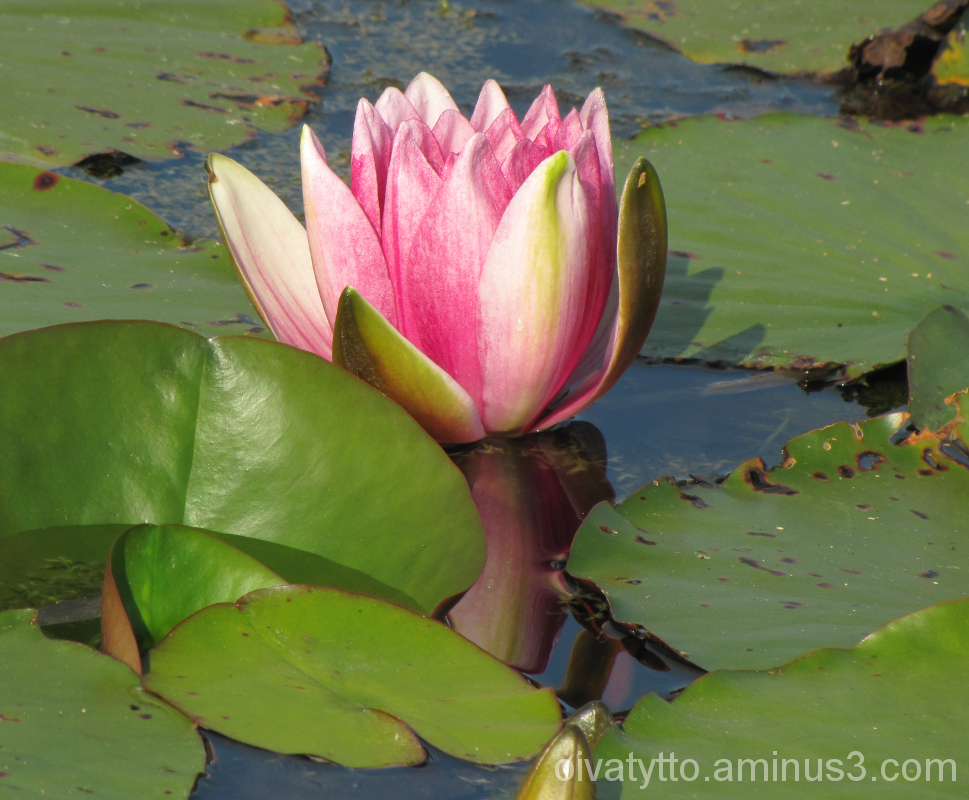 Still blooming in pink Waterlily in September!