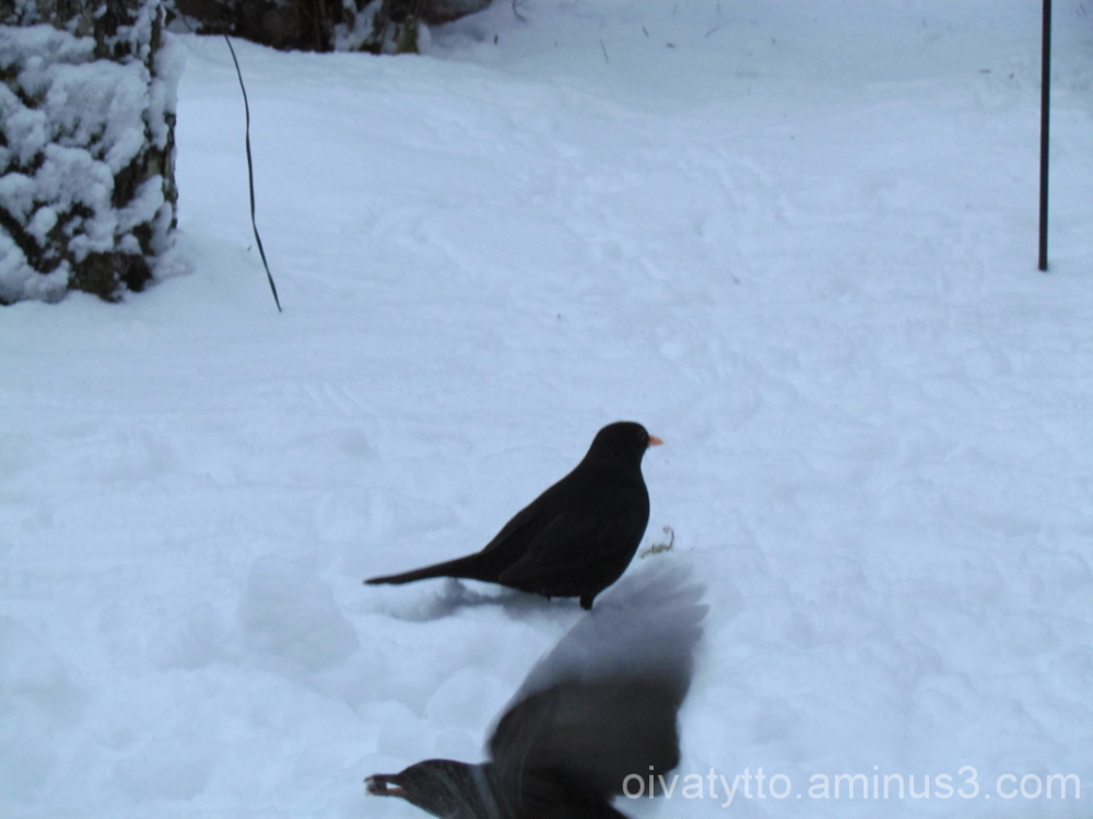 Blackbirds eating a raisins in!
