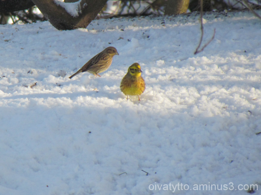 Greenfinches!