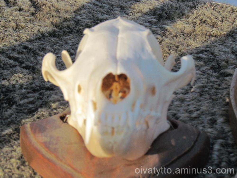 The fox skull!