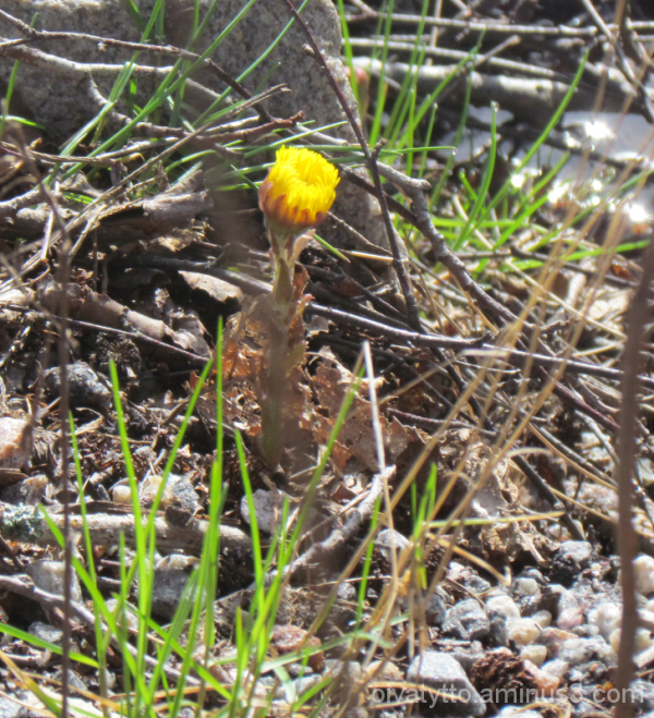 A lone Coltsfoot!