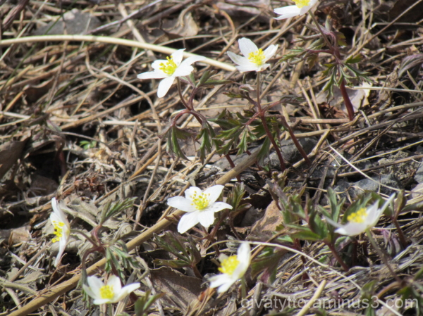 The first spring of anemones!