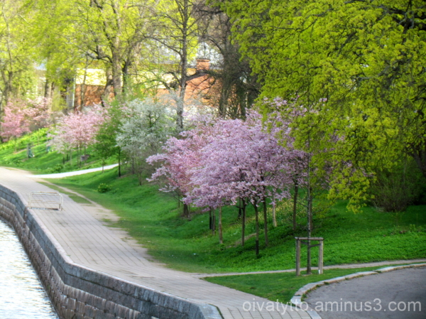 Blossoming cherry trees, by the River Aura!