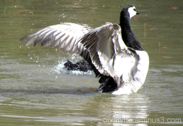 Barnacle Goose!