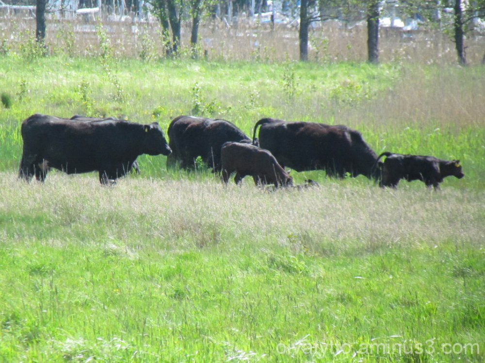 Cows on pasture!