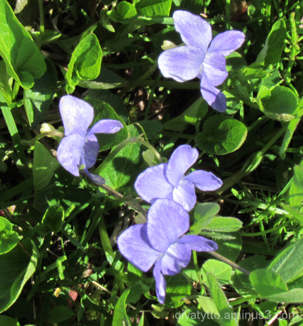 Violets 4/4