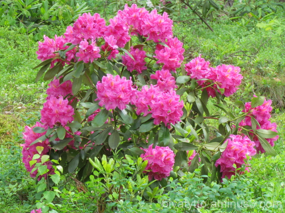 Rhododendron!