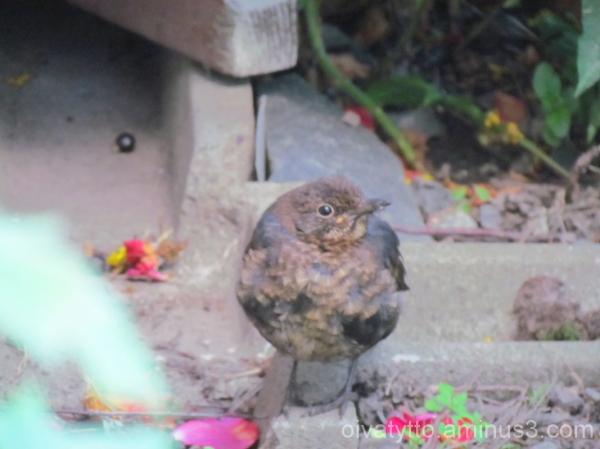 Blackbird cub!