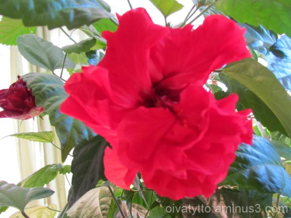 Hibiscus 2!