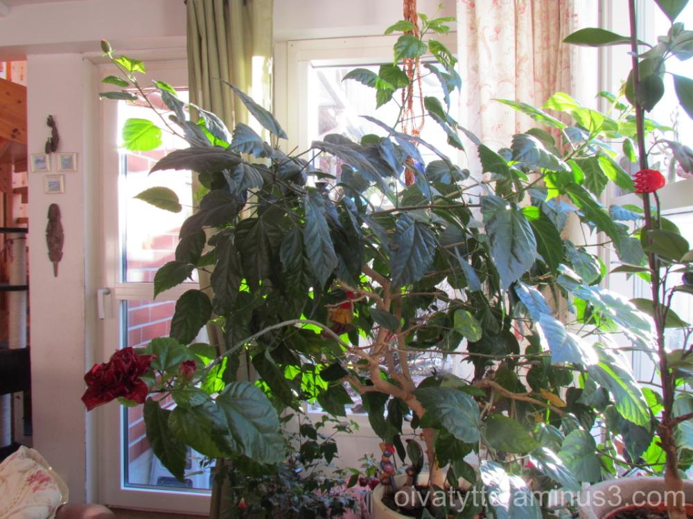 My hibiscus!