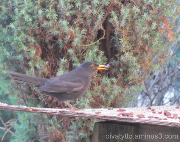 Blackbird and raisin!