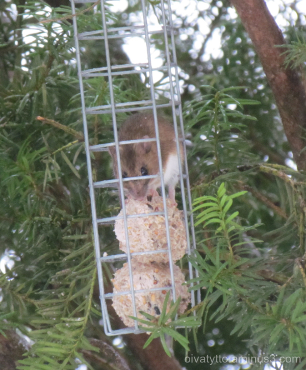Forest mouse eats the same food as the birds!