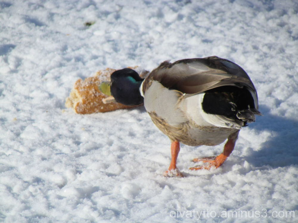 Mallard is hungry!