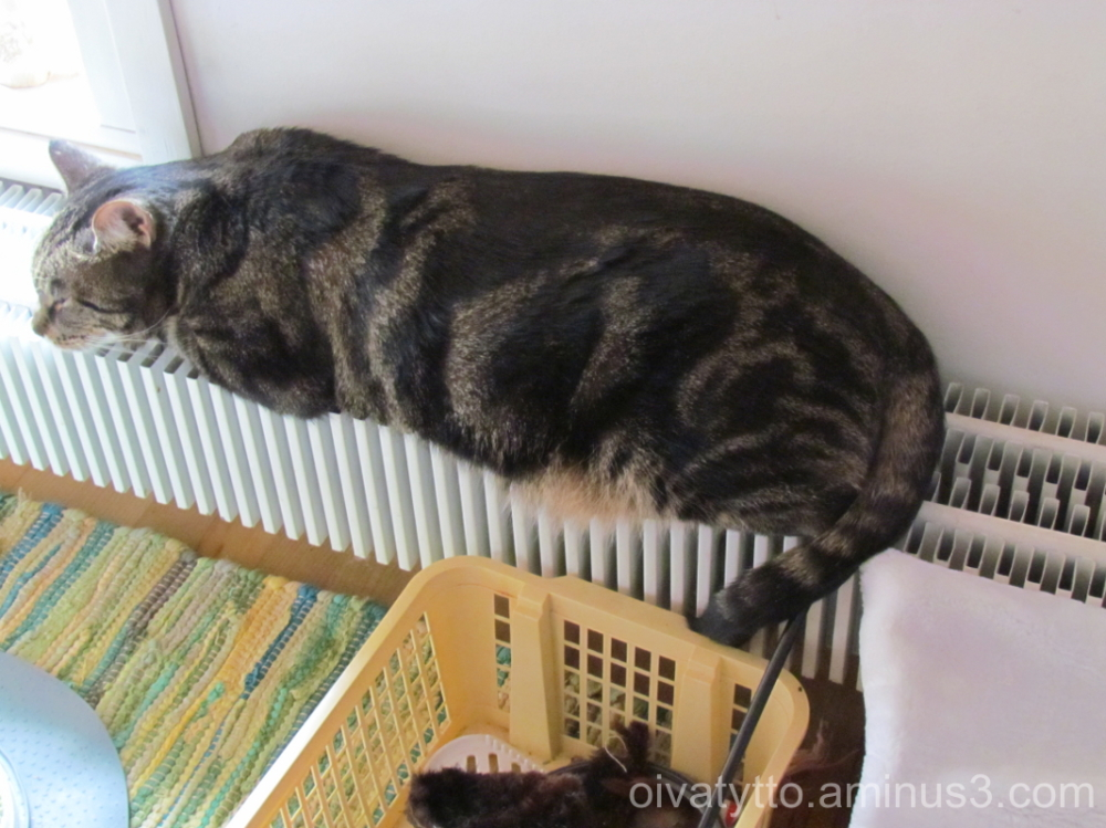 Leevi loves warm, the radiator is a nice place to