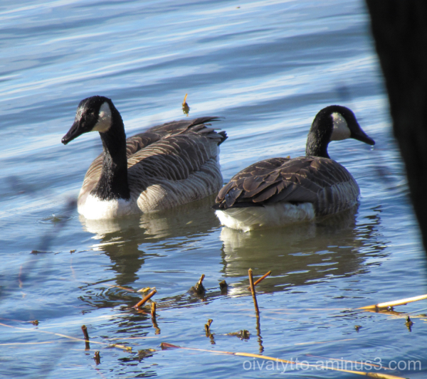 Canadian Geese!