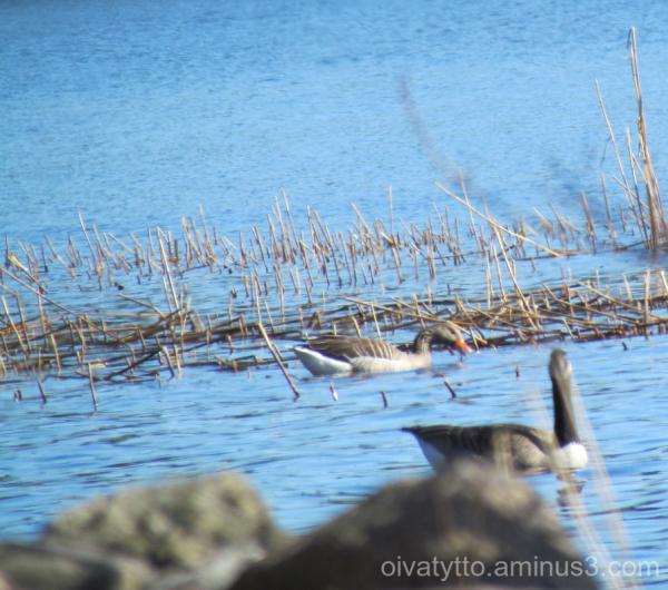 Greylag Goose!