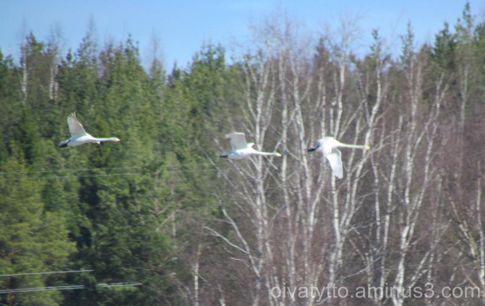 Three of swans!
