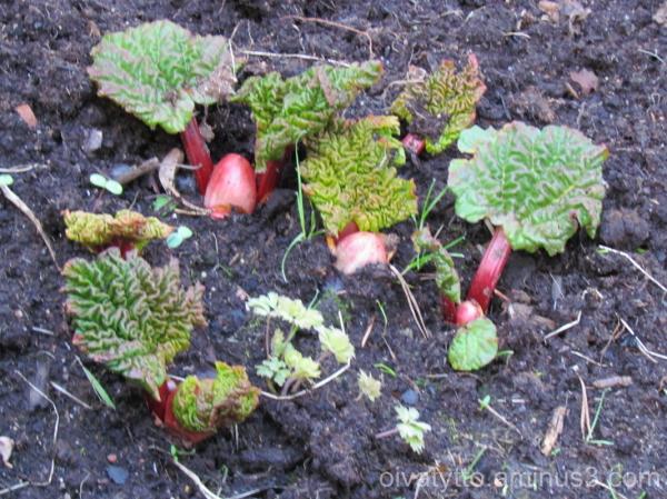 Rhubarb!