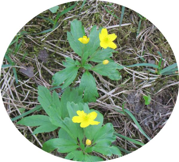 Yellow Anemone!