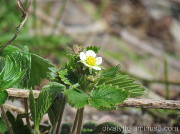 Strawberry blossoms!