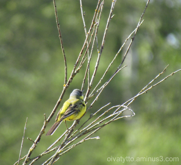 Yellow Wagtail singing spring song!