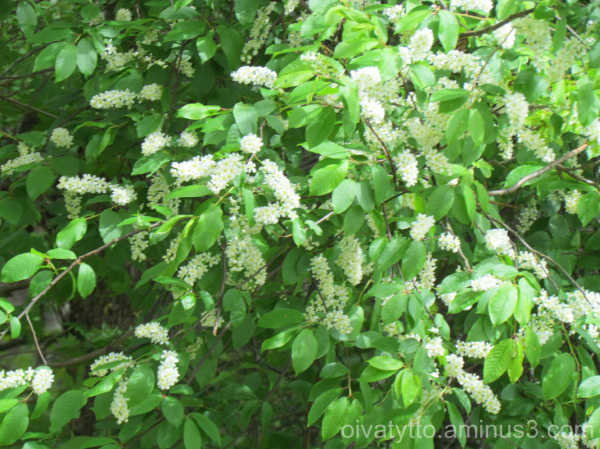 Bird cherry blossoms!