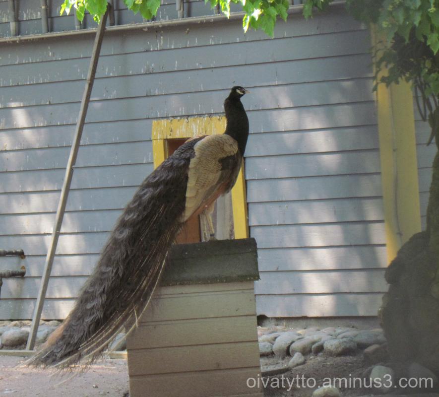 Black Peacock!