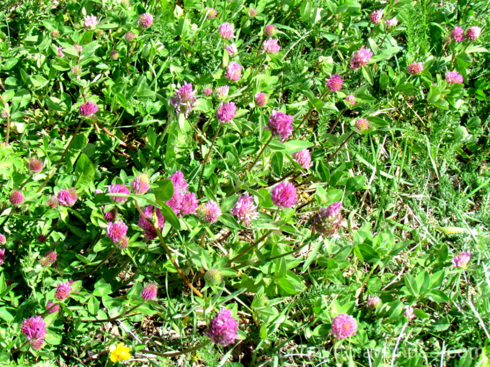 Red Clover!