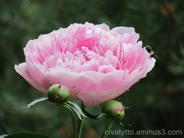 Peony flower and a bee!