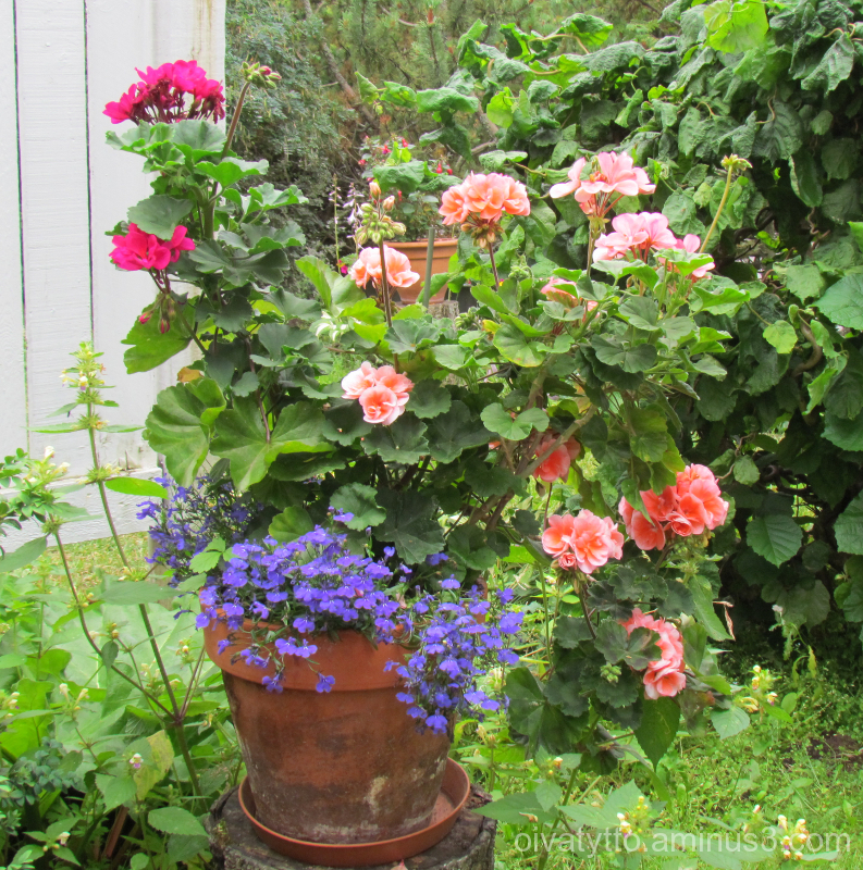 The geraniums.