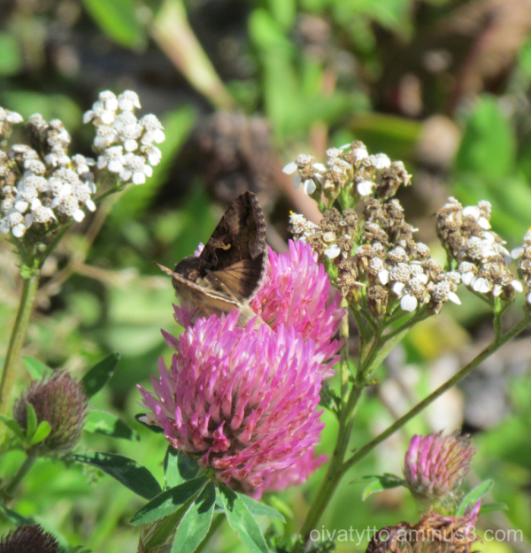 Red Clover and Butterfly.