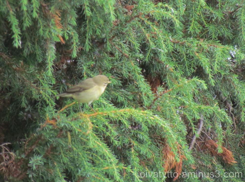 Small bird and juniper!