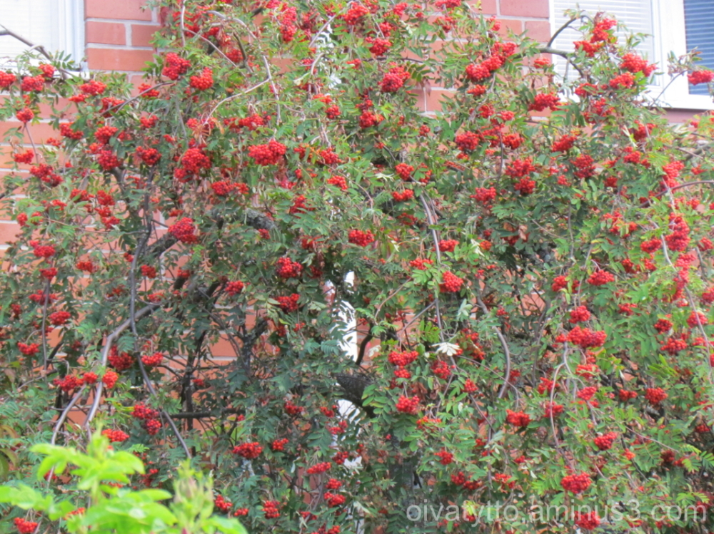 Rowan tree full of berries.