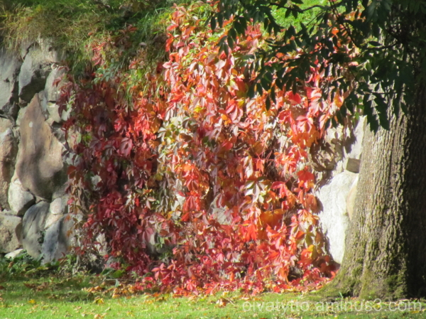 The fall colors red Virginia creeper.