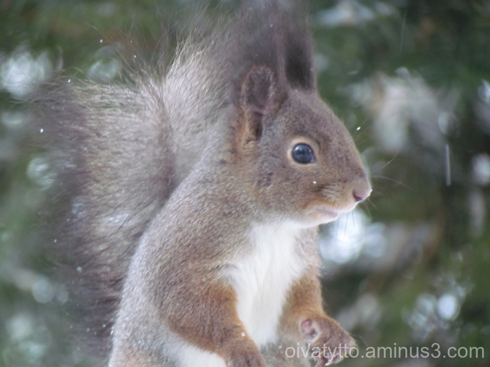 Cheerful squirrel, belly full of raisins.